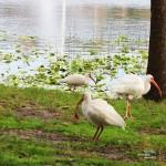 Ibisis at Lake Lily, Maitland, FL